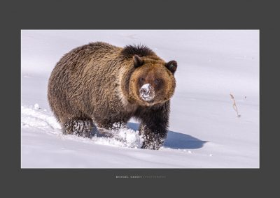 Grizzly-20x30